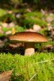 King boletus mushroom Royalty Free Stock Images