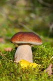 King boletus mushroom Royalty Free Stock Photography
