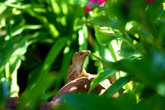 King. Brown Anole claiming his basking spot Royalty Free Stock Photo