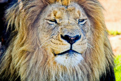 King of the bushveld Stock Photography