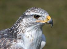 King buzzard Stock Image