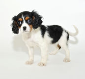 King Cavalier Puppy Stock Images