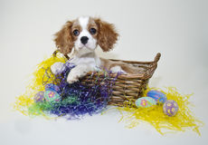 King Cavalier Puppy in an Easter Basket Stock Image