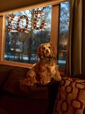 King Caviler Charles Spaniel Dog. This is my Aunts dog from Baxtet MN & The Dogs name is Happy Royalty Free Stock Photo