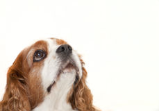 King Charles Royalty Free Stock Photography