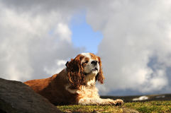 King Charles Royalty Free Stock Images