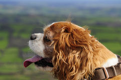 King Charles Stock Photography