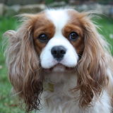 King charles cavalier Stock Photography