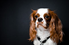 King Charles cavalier Royalty Free Stock Images