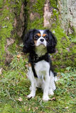 King Charles Cavalier dog. Shot in Denmark royalty free stock photos