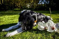 King Charles Cavalier dog. Shot in Denmark royalty free stock images