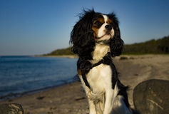 King Charles Cavalier dog. Shot in Denmark royalty free stock photo