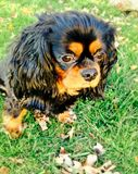 King Charles Cavalier. Cavalier puppy dog eyes Stock Image