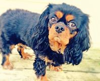 King Charles Cavalier. Cavalier puppy dog eyes Royalty Free Stock Photos