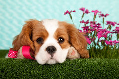 King Charles cavalier spaniel Royalty Free Stock Image