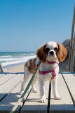 King Charles Cavalier Spaniel at the beach. With the waves in the background on a sunny day royalty free stock photography