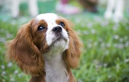 Adorable Cavalier King Charles Spaniel puppy basking in the sun. King Charles Charles dog basking in the sun stock images