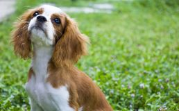 King Charles Charles with grass as the background. King Charles Charles n a thoughtful posture royalty free stock photos
