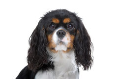 King Charles Spaniel Stock Photo