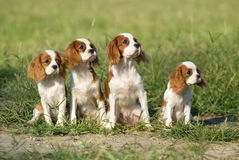King charles spaniel Royalty Free Stock Photo