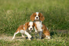King charles spaniel Royalty Free Stock Photos