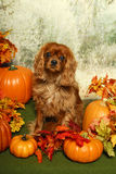 King Charles Spaniel in the Autumn Woods Stock Images