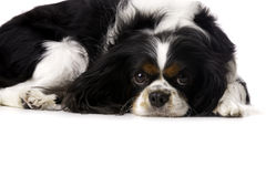 King Charles Spaniel Curled Up Isolated on a White Background Stock Images