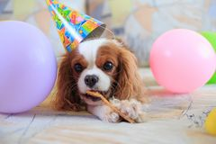 King Charles Spaniel royalty free stock photography