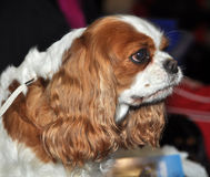 King Charles Spaniel dog stock photo