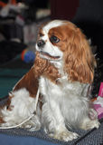 King Charles Spaniel dog Royalty Free Stock Images