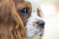 King Charles Spaniel dog King Charles Spaniel dog breed of the spaniel type.King Charles Spaniel dog breed of the spaniel type.Kin. Beautiful brown white dog royalty free stock photography
