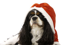 King Charles Spaniel Dog Wearing a Christmas Hat Stock Photos