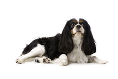 King Charles Spaniel Laid Isolated on a White Background Royalty Free Stock Photos