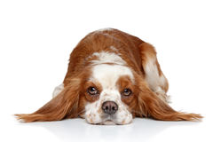 King Charles spaniel lying down Stock Image