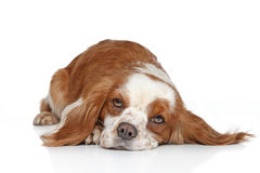 King Charles spaniel lying Stock Photos