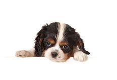King charles spaniel message Stock Photos