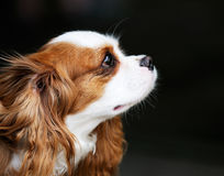 King Charles spaniel portrait Royalty Free Stock Image