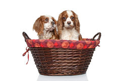 King Charles spaniel puppies in wicker basket royalty free stock images