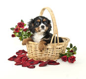 King Charles Spaniel Puppy Royalty Free Stock Images