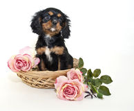 King Charles Spaniel Puppy Stock Photo