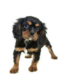 King Charles Spaniel Puppy Stock Image