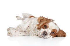 King Charles spaniel resting Royalty Free Stock Photography
