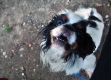 King Charles Spaniel Rony royalty free stock images