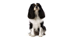 King Charles Spaniel Sat Isolated on a White Background Stock Image