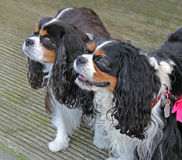 cavalier king charles spaniels Stock Photography