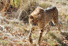 King cheetah stock images