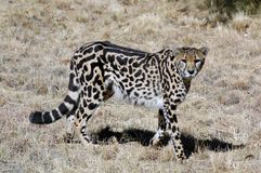 King Cheetah. Royalty Free Stock Photos