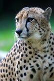 King Cheetah. A King Cheetah on alert Stock Images