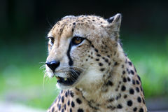 King Cheetah. A King Cheetah on alert Royalty Free Stock Images