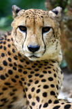King Cheetah Royalty Free Stock Photos